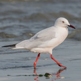 Slender-billed Gull (2)