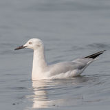 Slender-billed Gull (3)