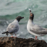 Swallow-tailed Gull (7)