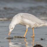 Slender-billed Gull (4)
