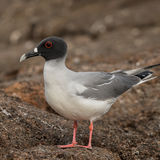 Swallow-tailed Gull (8)