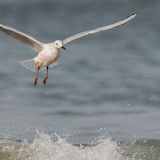 Slender-billed Gull (5)