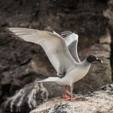 Swallow-tailed Gull (9)
