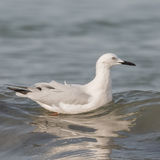 Slender-billed Gull (6)