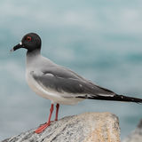 Swallow-tailed Gull (10)