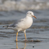 Slender-billed Gull (7)