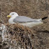 Black-legged Kittiwake (1)