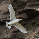 Black-legged Kittiwake (3)