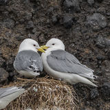 Black-legged Kittiwake (4)
