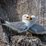 Black-legged Kittiwake (7)