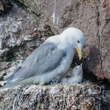 Black-legged Kittiwake (8)