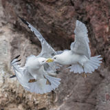 Black-legged Kittiwake (10)