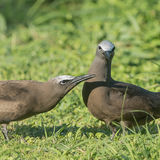 Brown Noddy (4)