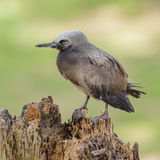 Brown Noddy (5)
