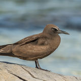 Brown Noddy (7)