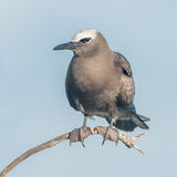 Brown Noddy (9)