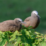 Brown Noddy (10)