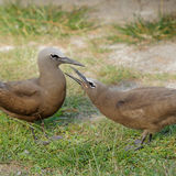 Brown Noddy (13)
