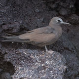 Brown Noddy (14)