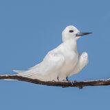 Fairy Tern (1)