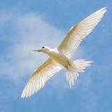 Fairy Tern (2)