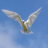 Fairy Tern (3)