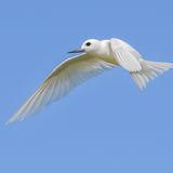 Fairy Tern (4)