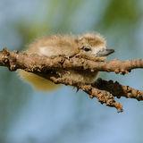 Fairy Tern (5)