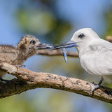 Fairy Tern (7)