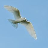 Fairy Tern (8)