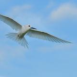 Fairy Tern (9)