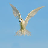 Fairy Tern (10)