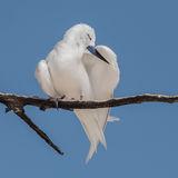 Fairy Tern (11)