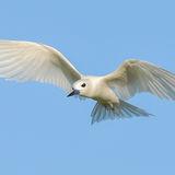 Fairy Tern (12)