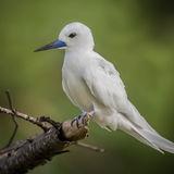 Fairy Tern (13)