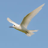 Fairy Tern (14)