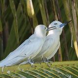 Fairy Tern (15)
