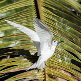 Fairy Tern (16)