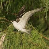 Bridled Tern (2)