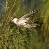 Bridled Tern (3)