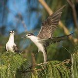 Bridled Tern (4)