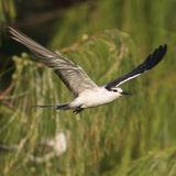 Bridled Tern (5)