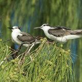 Bridled Tern (6)