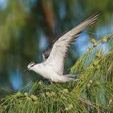 Bridled Tern (7)