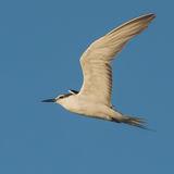 Bridled Tern (8)