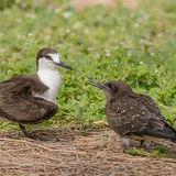 Sooty Tern (1)