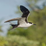 Sooty Tern (2)