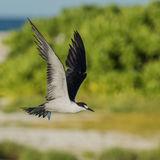 Sooty Tern (4)