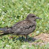 Sooty Tern (6)