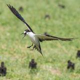 Sooty Tern (7)